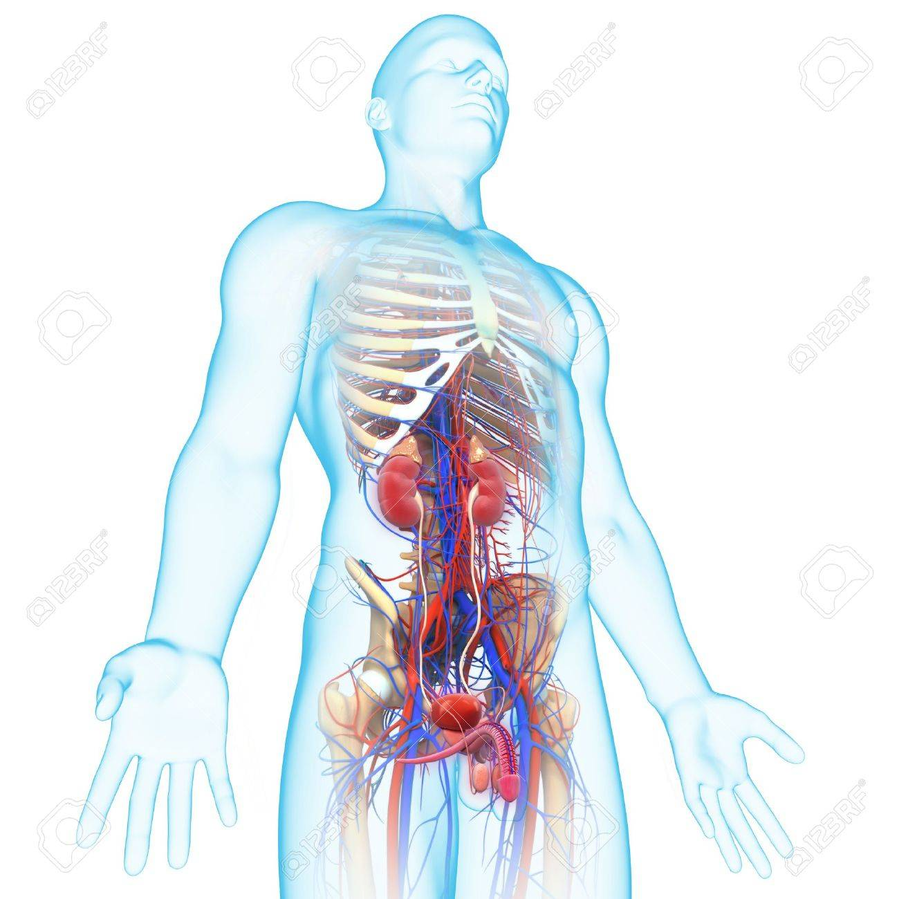 Side View Of Human Urinary System Stock Photo Picture And Royalty