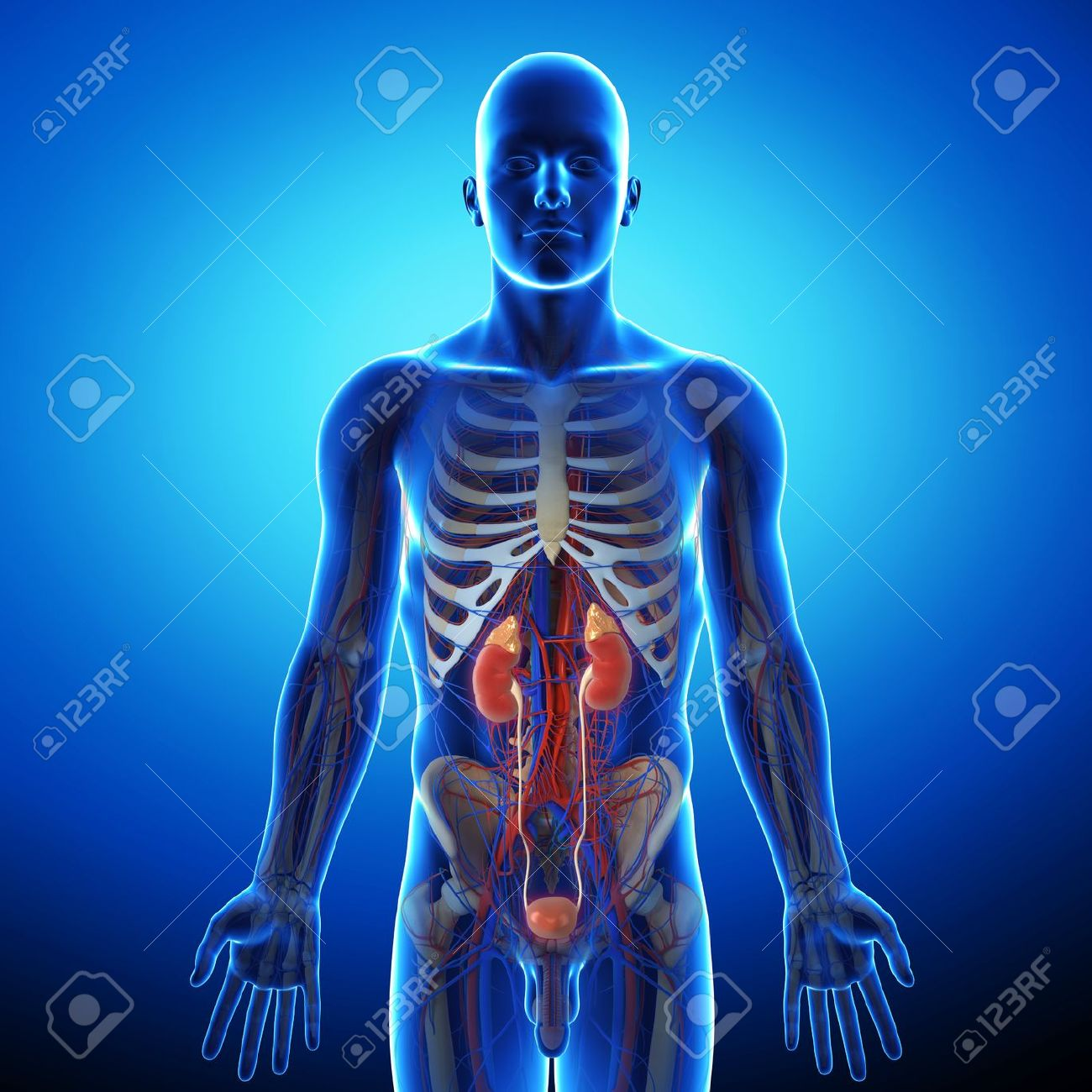 human urinary system in blue x-ray