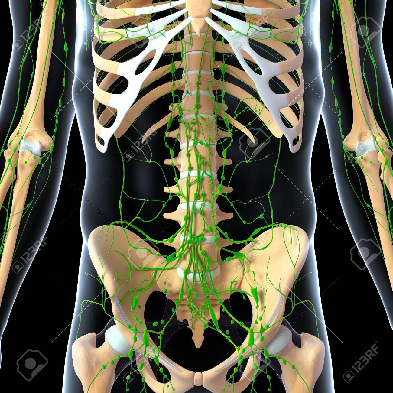 3d Art Illustration Of Lymphatic System Of Female Front Side Kidney