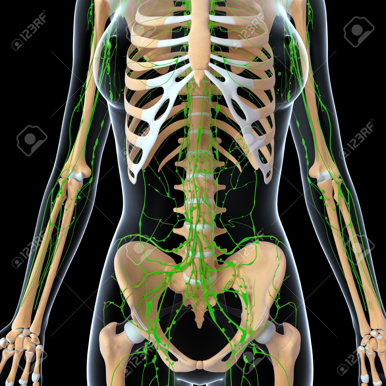 3d art illustration of lymphatic system of female half body with 3d art illustration of lymphatic system of female half body with skeleton imagens 14772113 ccuart Images