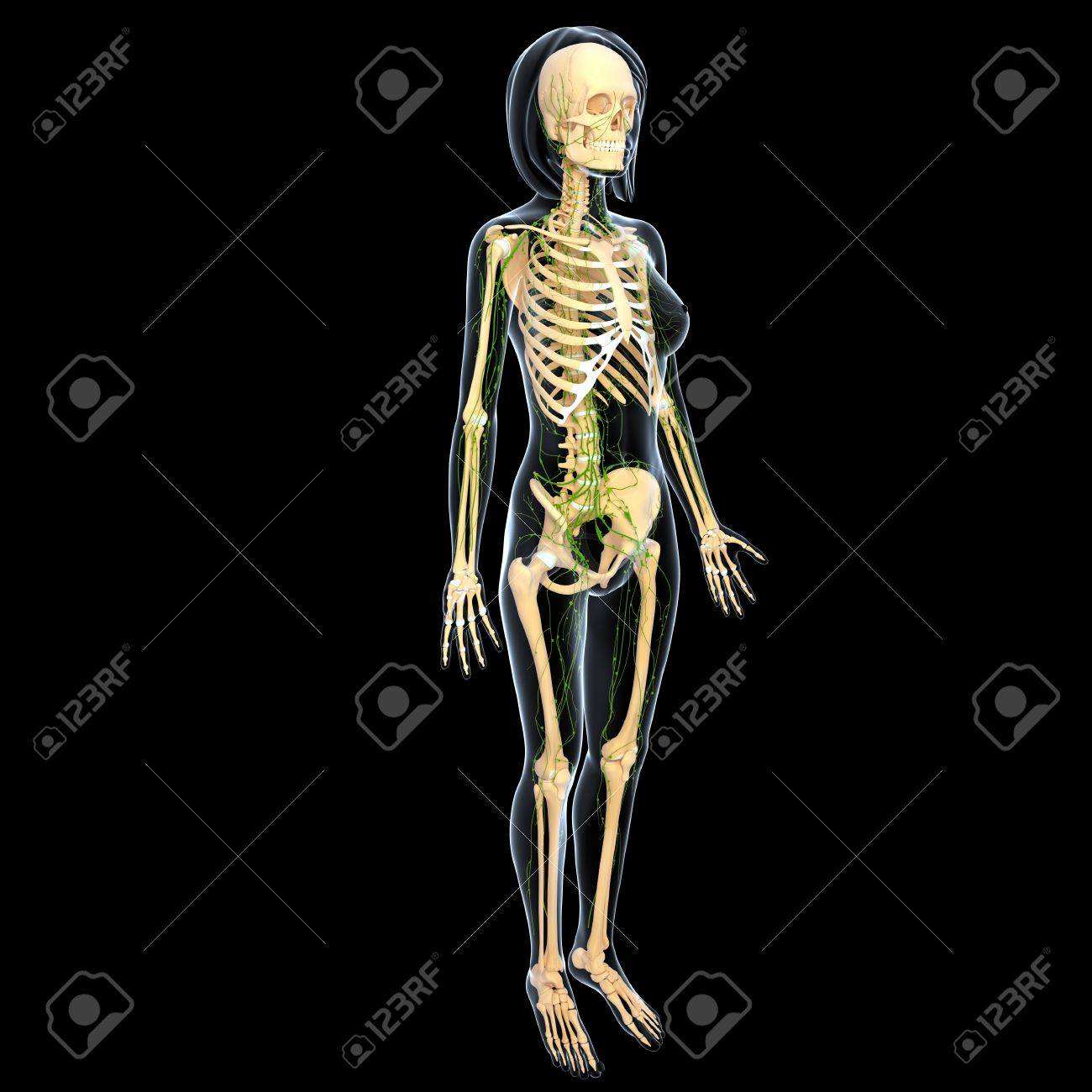 3d art illustration of  lymphatic system of female full body side view Stock Illustration - 14771951