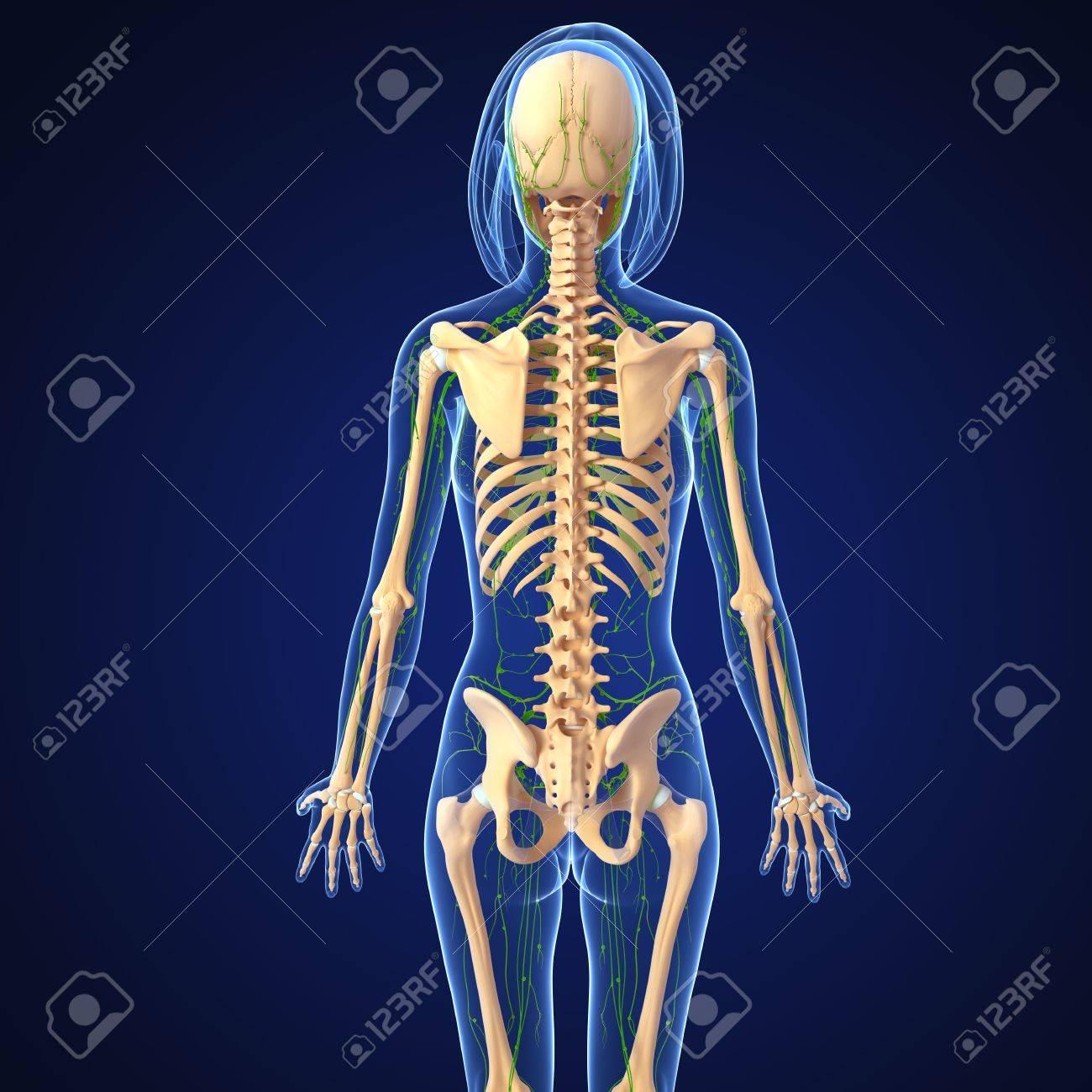 Ungewöhnlich Weibliche Anatomie Zurück Zeitgenössisch - Menschliche ...