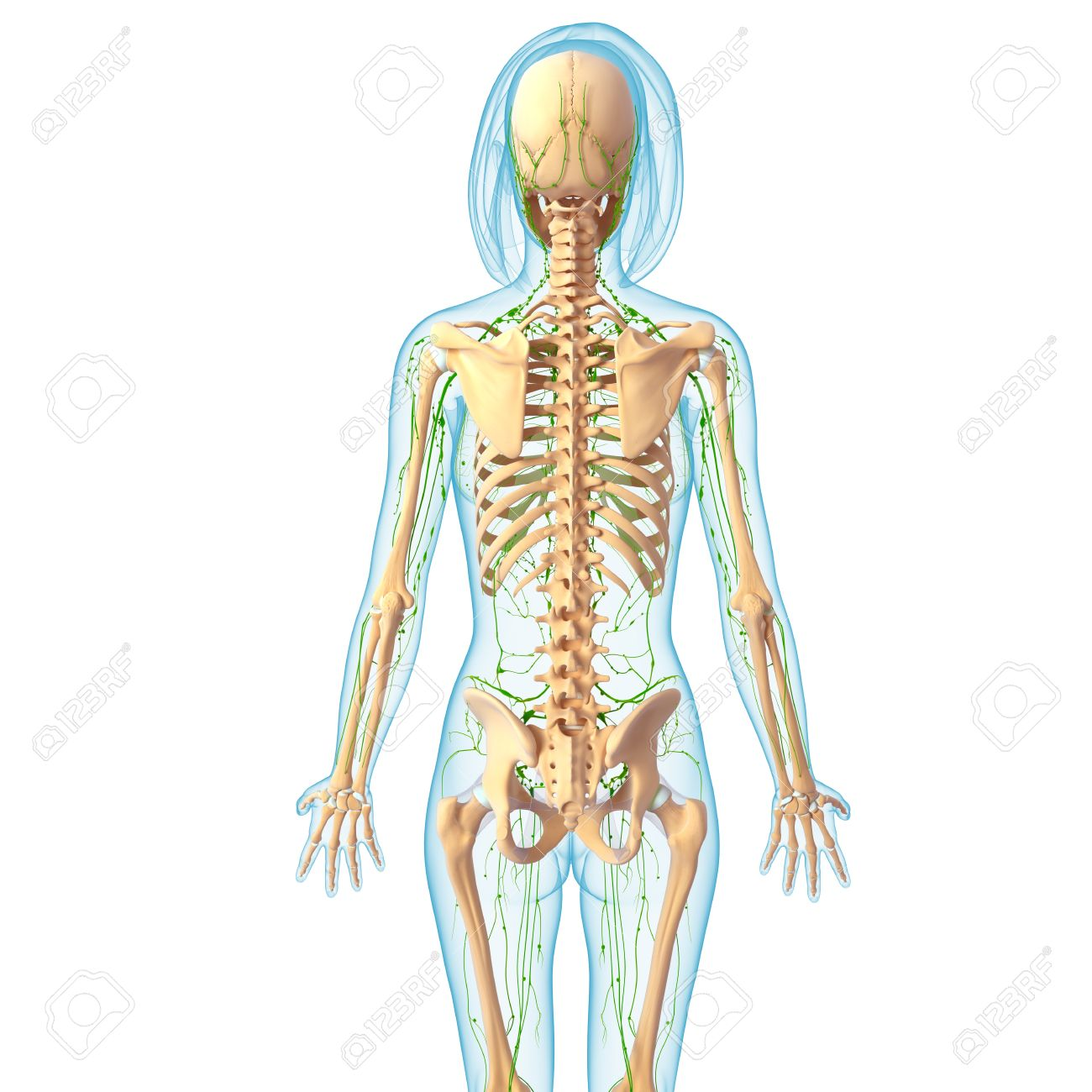 3d Art Illustration Of Lymphatic System Of Female Back Stock Photo ...