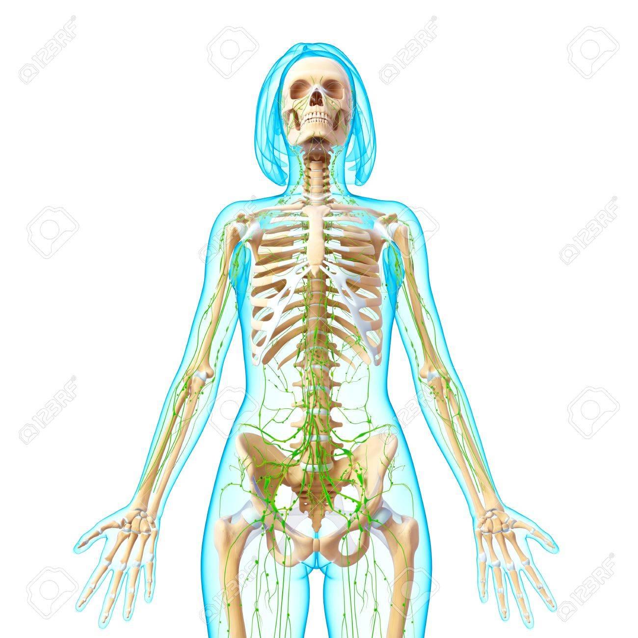 3d Kunst, Illustration, Des Lymphsystems Des Weiblichen Körpers In ...