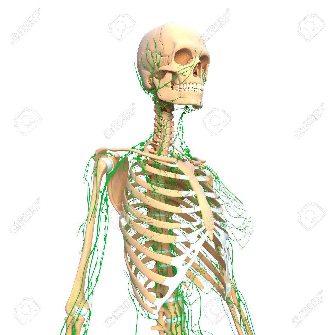Lymphatic System Of Female Side View Isolated On White Stock Photo ...