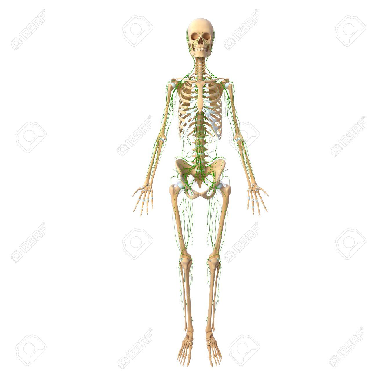 Ungewöhnlich Skelett System Kennzeichnung Arbeitsblatt ...