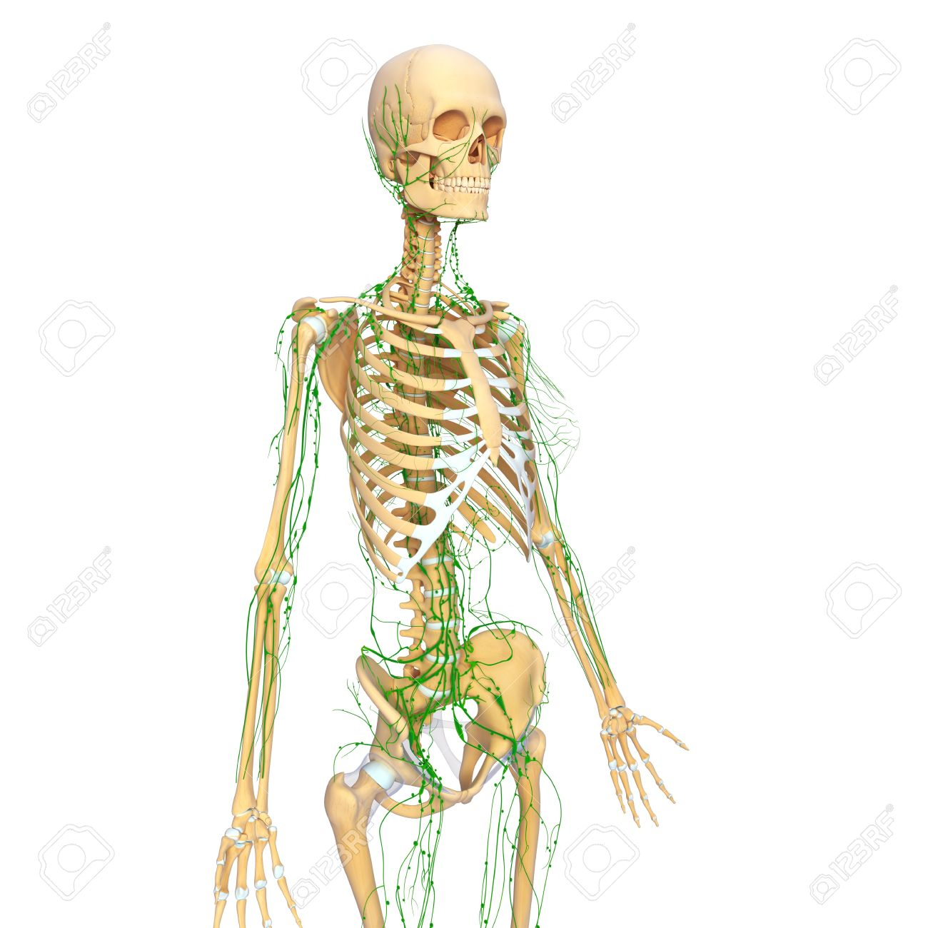Lymphatic System Of Female Side View With Skeleton Stock Photo ...