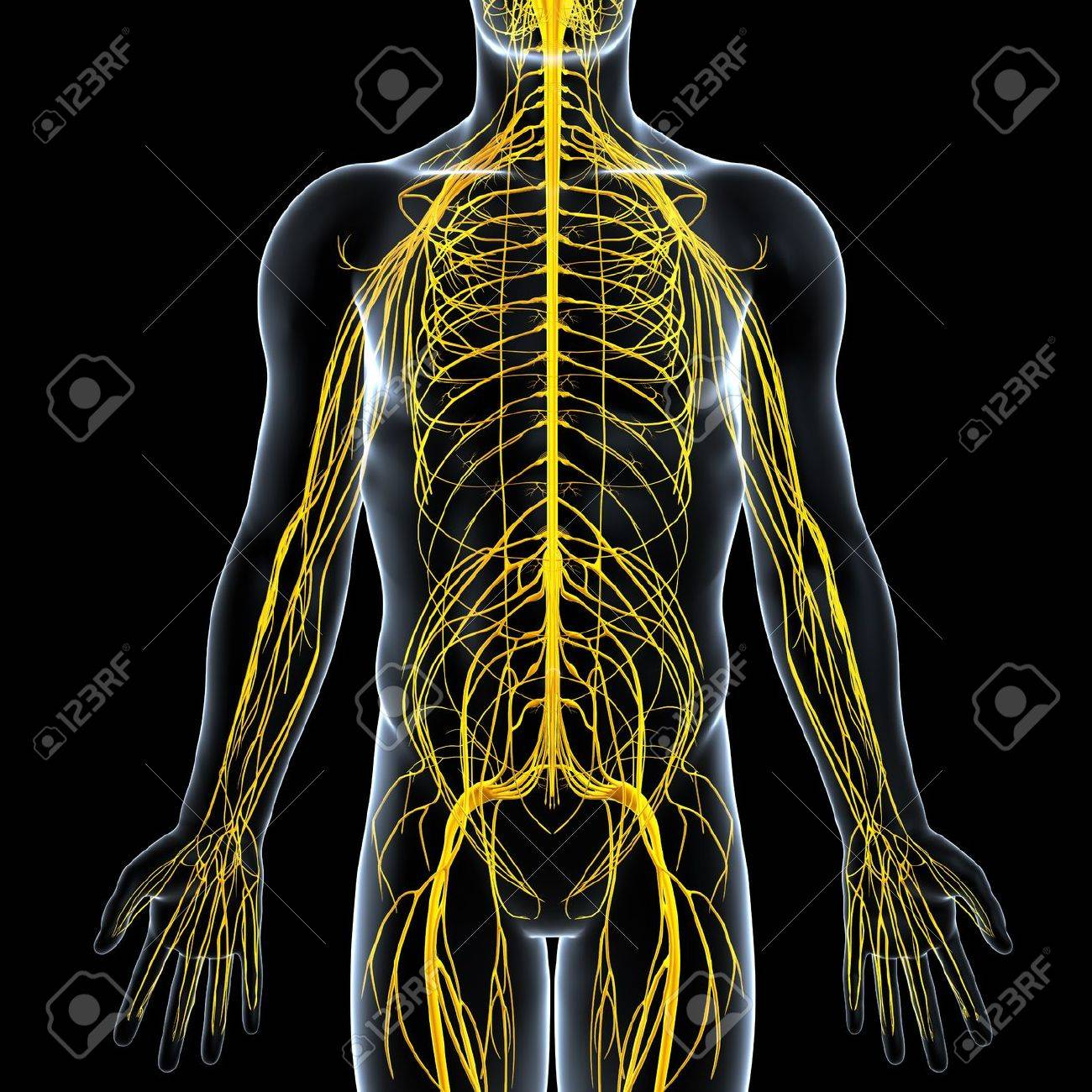 Front View Of Male Nervous System Stock Photo Picture And Royalty