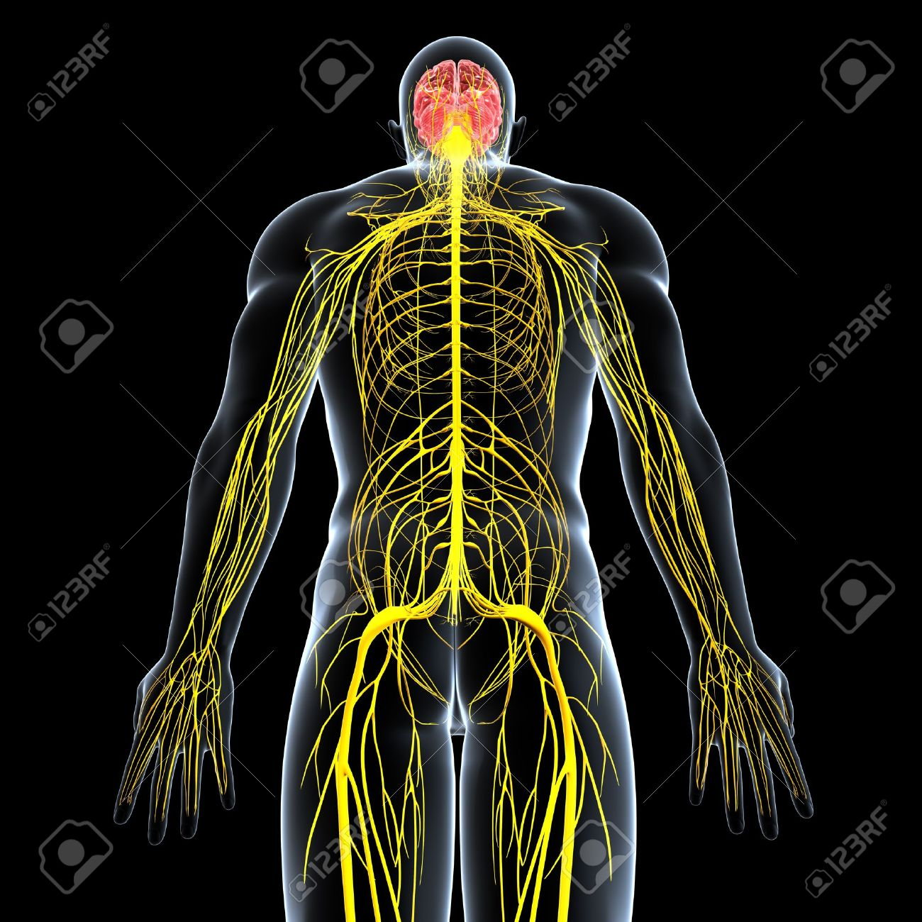 Rückseite Des Männlichen Nervensystem Auf Schwarzem Hintergrund ...
