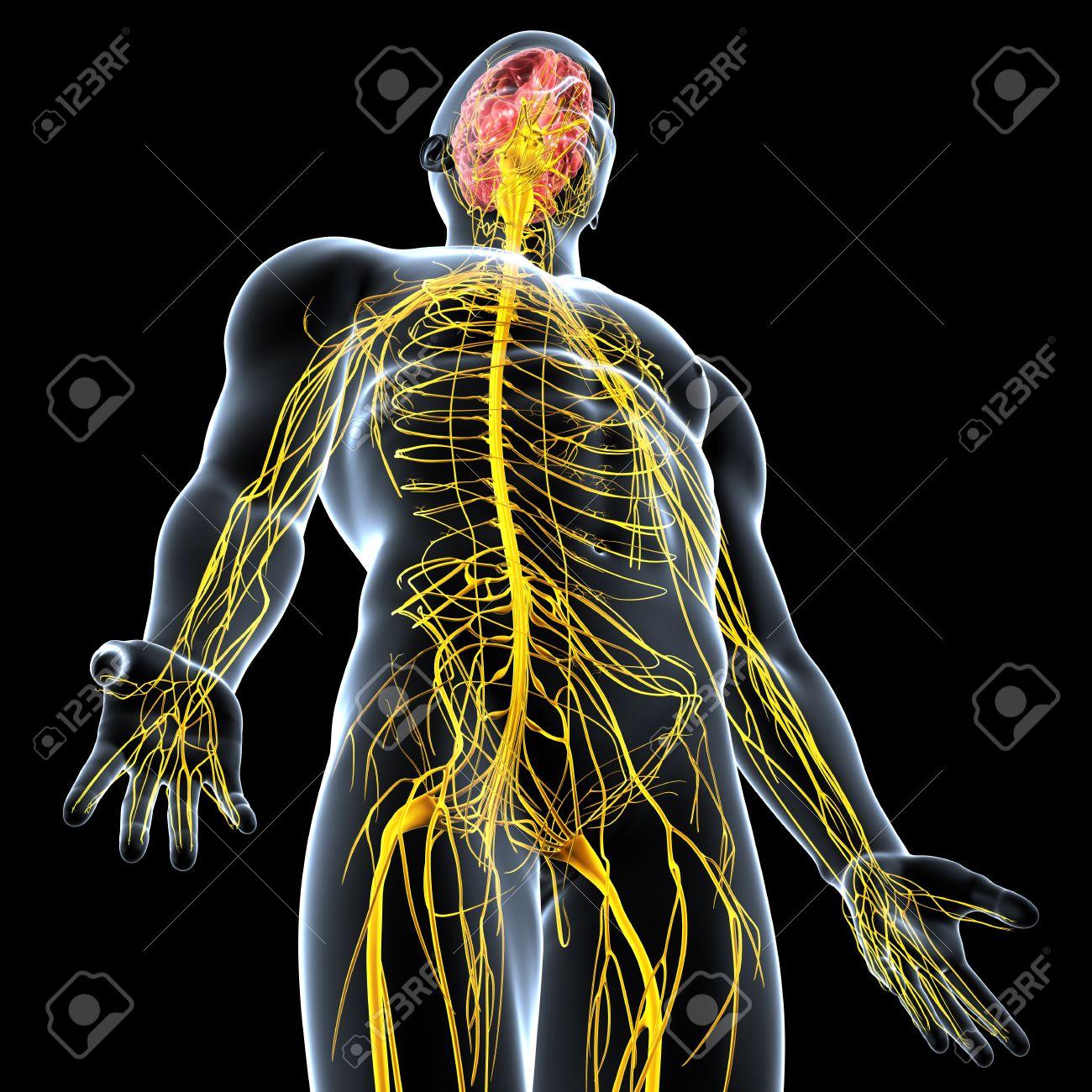 Beste Weibliche Fortpflanzungssystem Anatomie Bilder Zeitgenössisch ...