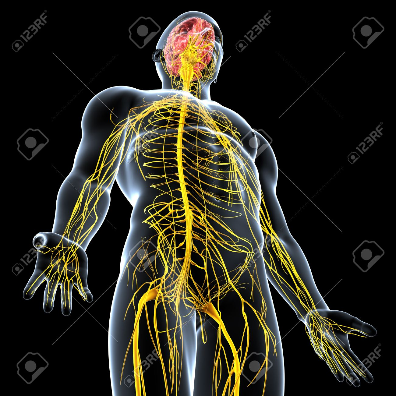 side view of male nervous system isolated on black background Stock Photo - 15181773