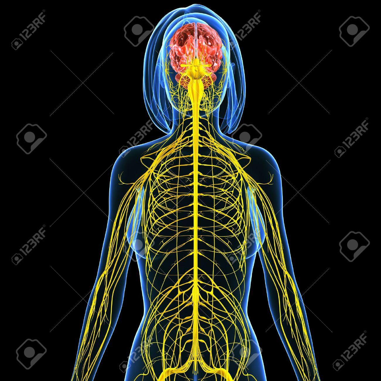 3d Art Illustration Of Nervous System Of Female Back View Stock