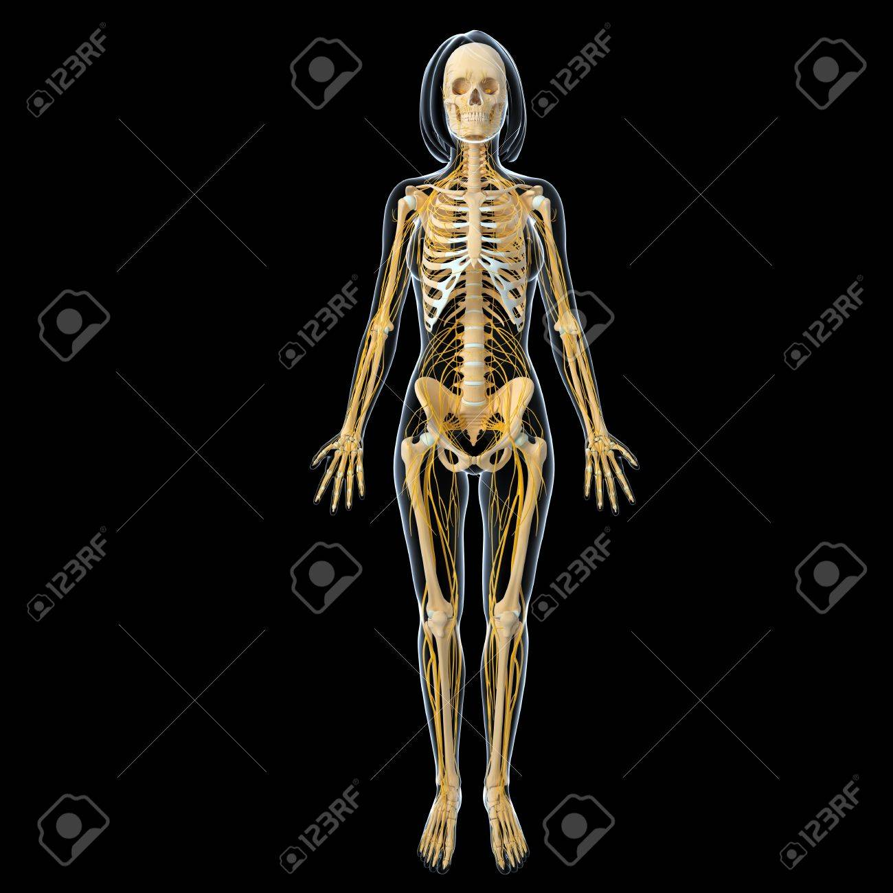 Nervous System Of Female Body Front View Isolated In Black ...