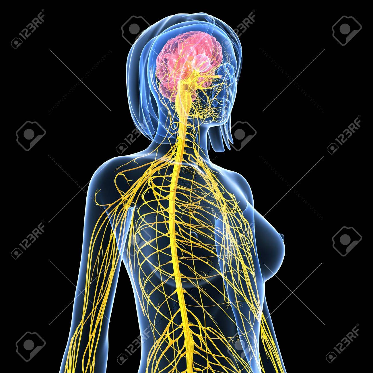 Front Side View Of Nervous System Of Female Isolated On Black Stock