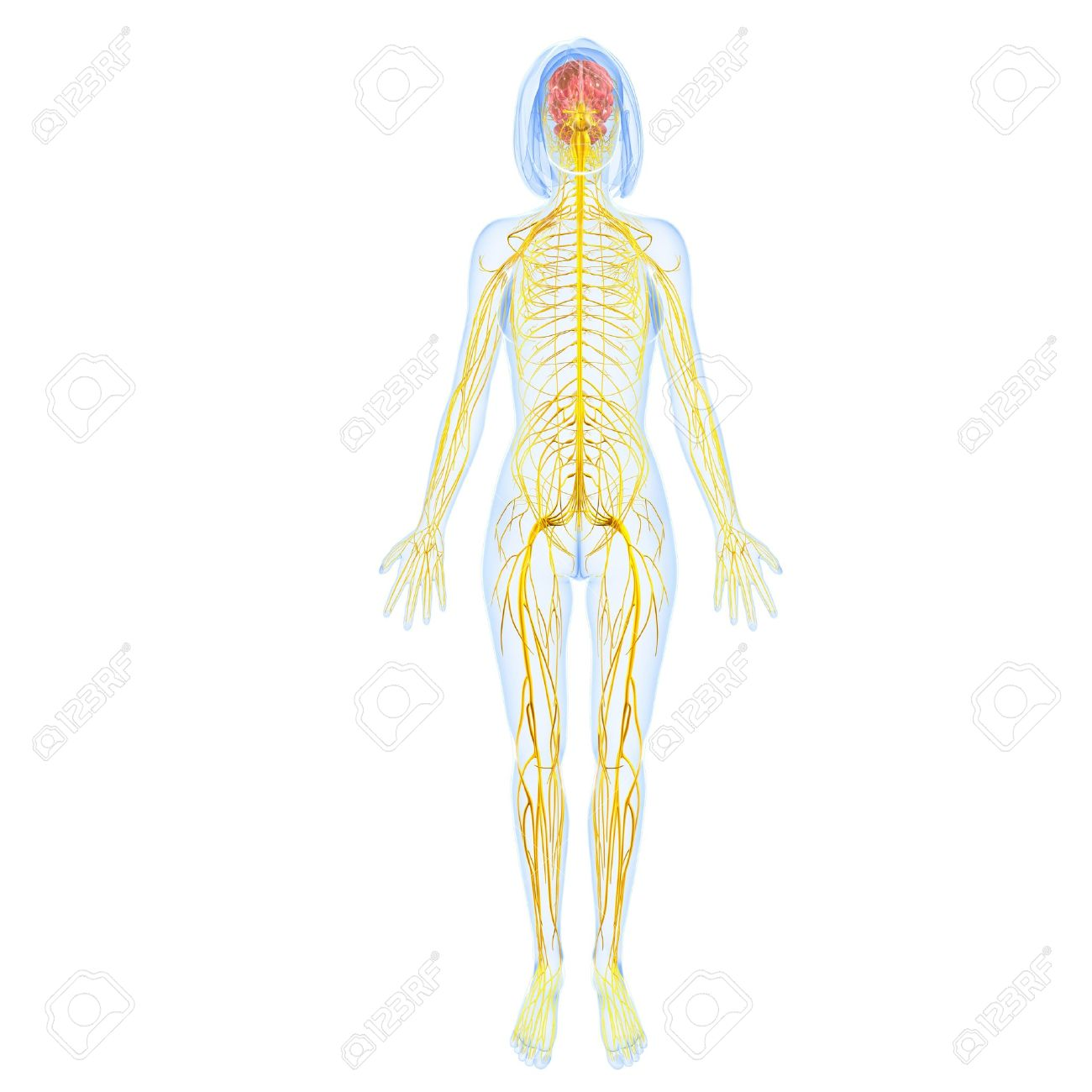 Female nervous system full body back view stock photo picture and female nervous system full body back view stock photo 15181682 ccuart Choice Image