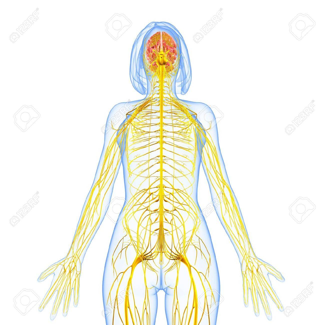 Female Nervous System Front View Stock Photo Picture And Royalty