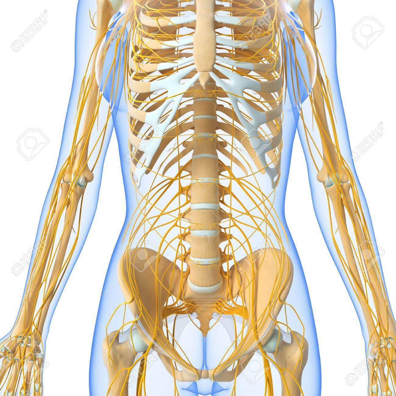 Front view of female nervous system stock photo picture and royalty front view of female nervous system stock photo 15181783 ccuart Images