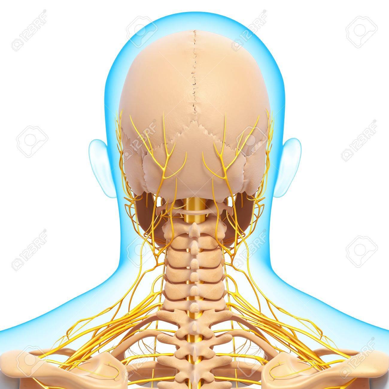 Vista Posterior Del Sistema Nervioso Humano Esquelético Fotos ...