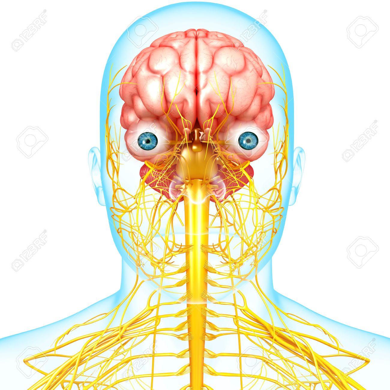 Esquelético Humano Sistema Nervioso Vista Frontal Fotos, Retratos ...
