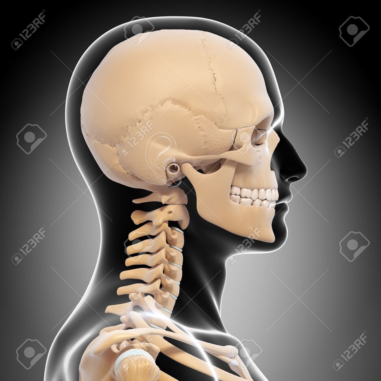 Human Skeleton Side View Of Head Isolated In Gray Stock Photo