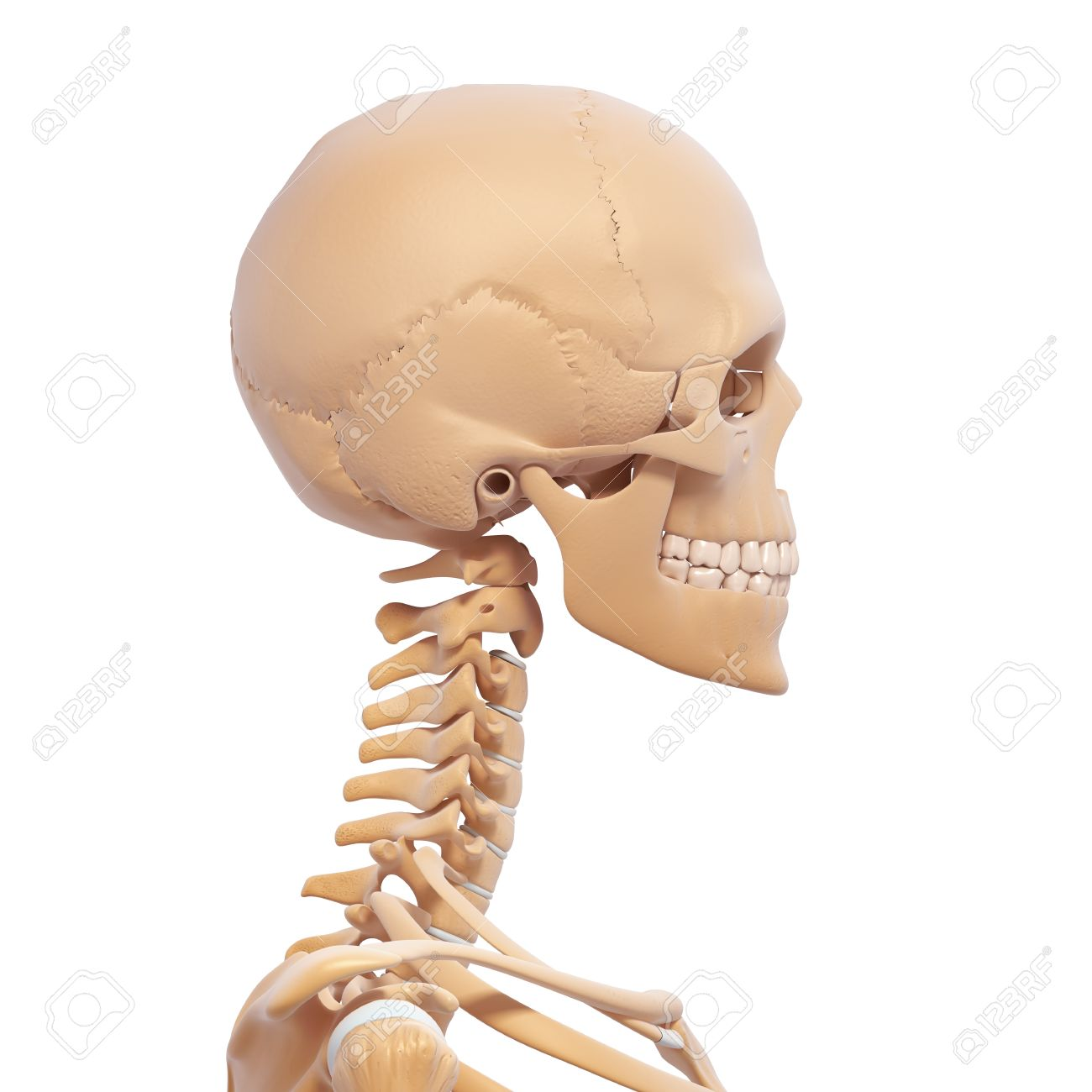 Human Skeleton Side View Stock Photo Picture And Royalty Free Image