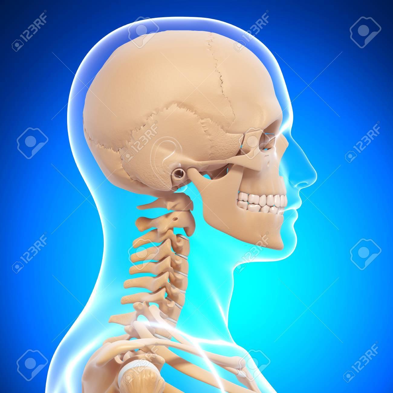 Ilustración De La Vista Lateral Esqueleto Humano Fotos, Retratos ...