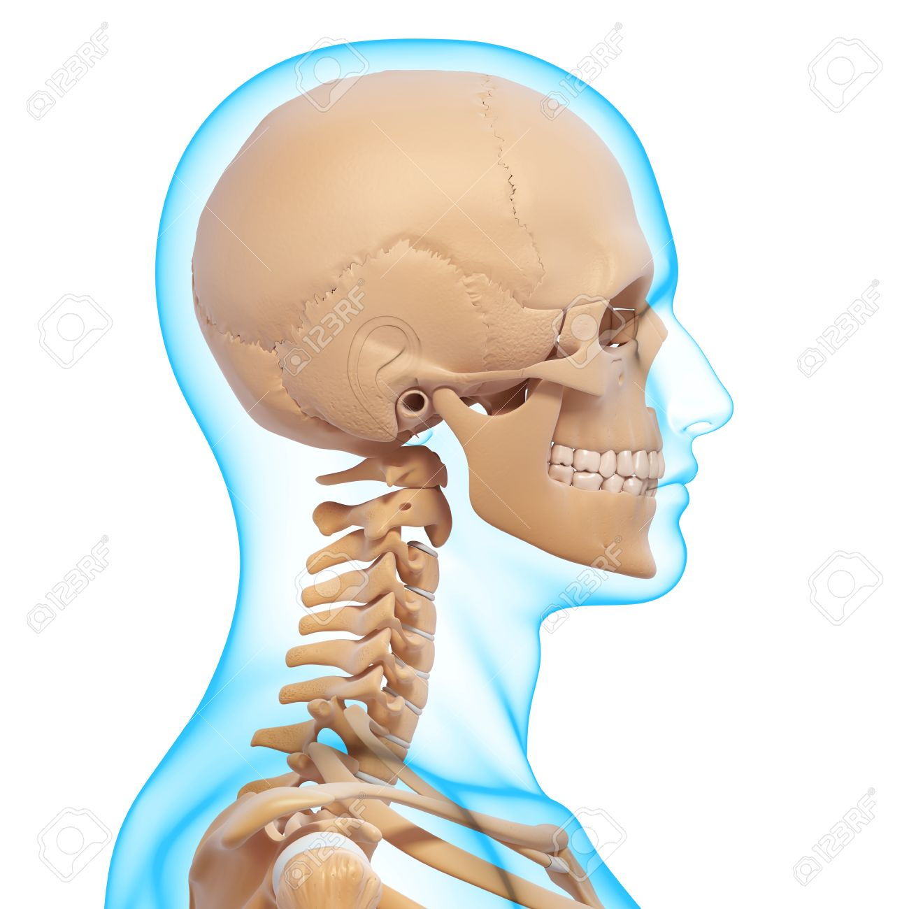 Side View Of Human Skeleton Of Head Stock Photo Picture And Royalty