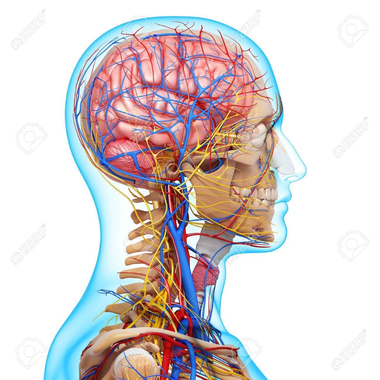 Seitenansicht Gehirn Kreislaufsystem Mit, Augen, Rachen, Zähne ...