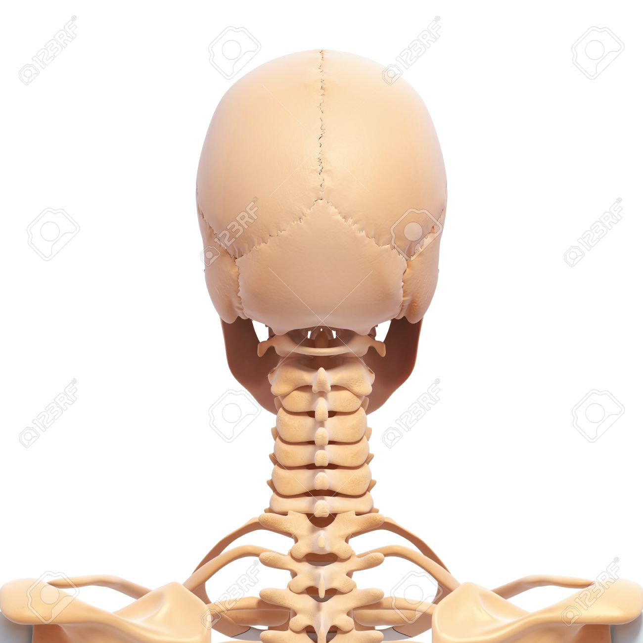 Back View Of Human Skeleton Of Head Stock Photo Picture And Royalty