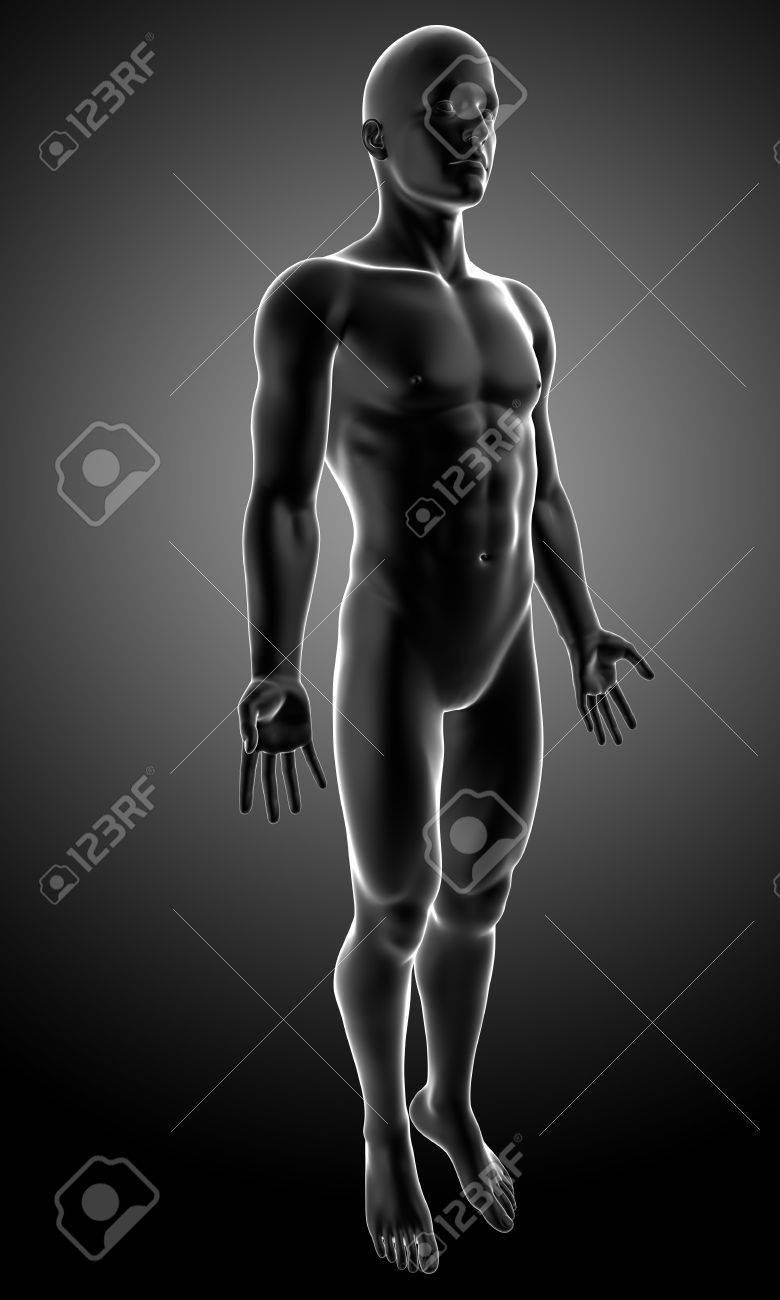Anatomie Des Männlichen Körpers In Grau Lizenzfreie Fotos, Bilder ...
