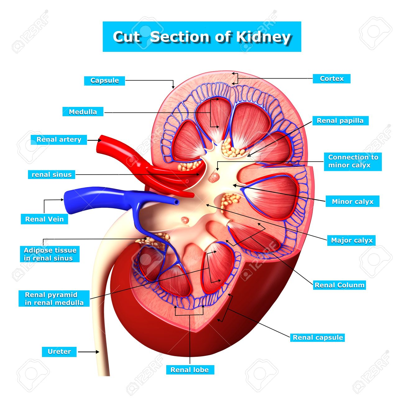Anatomy Of Kidney Cut Section Stock Photo, Picture And Royalty Free ...