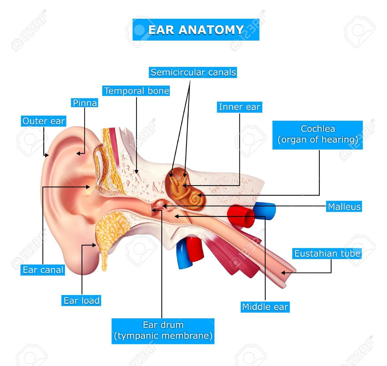 Ear cut view with names stock photo picture and royalty free image ear cut view with names stock photo 15858994 ccuart Gallery