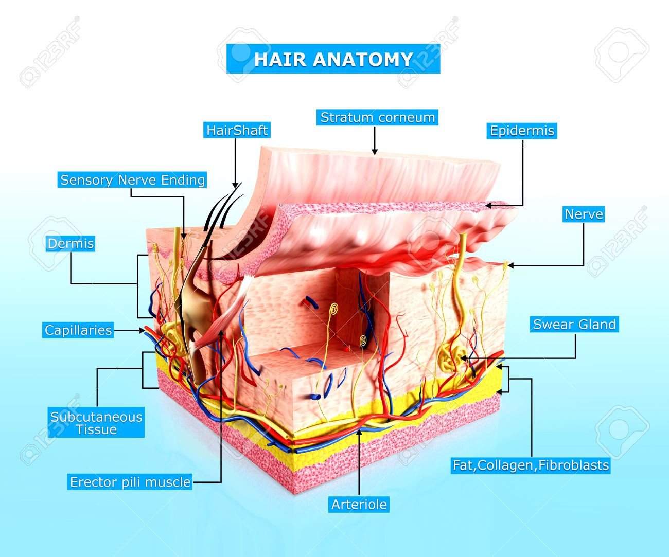 Human Skin Hair Anatomy Diagram Stock Photo Picture And Royalty