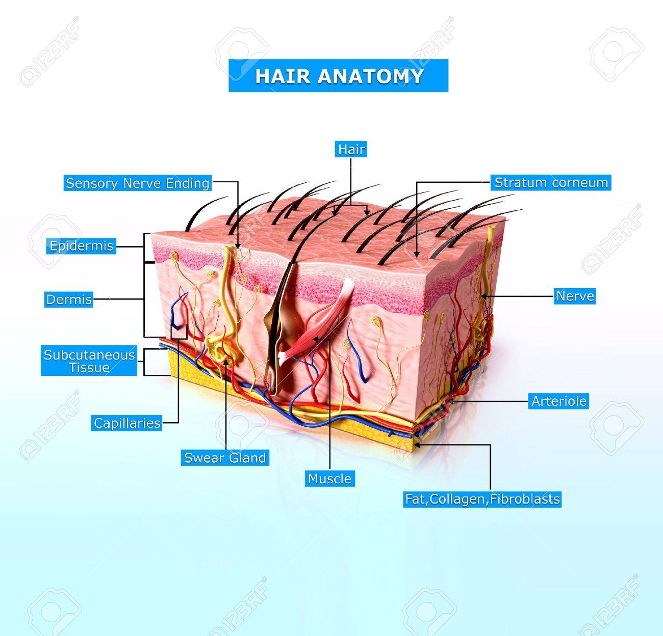 Atractivo Diagrama De La Anatomía De Pelo Adorno - Imágenes de ...