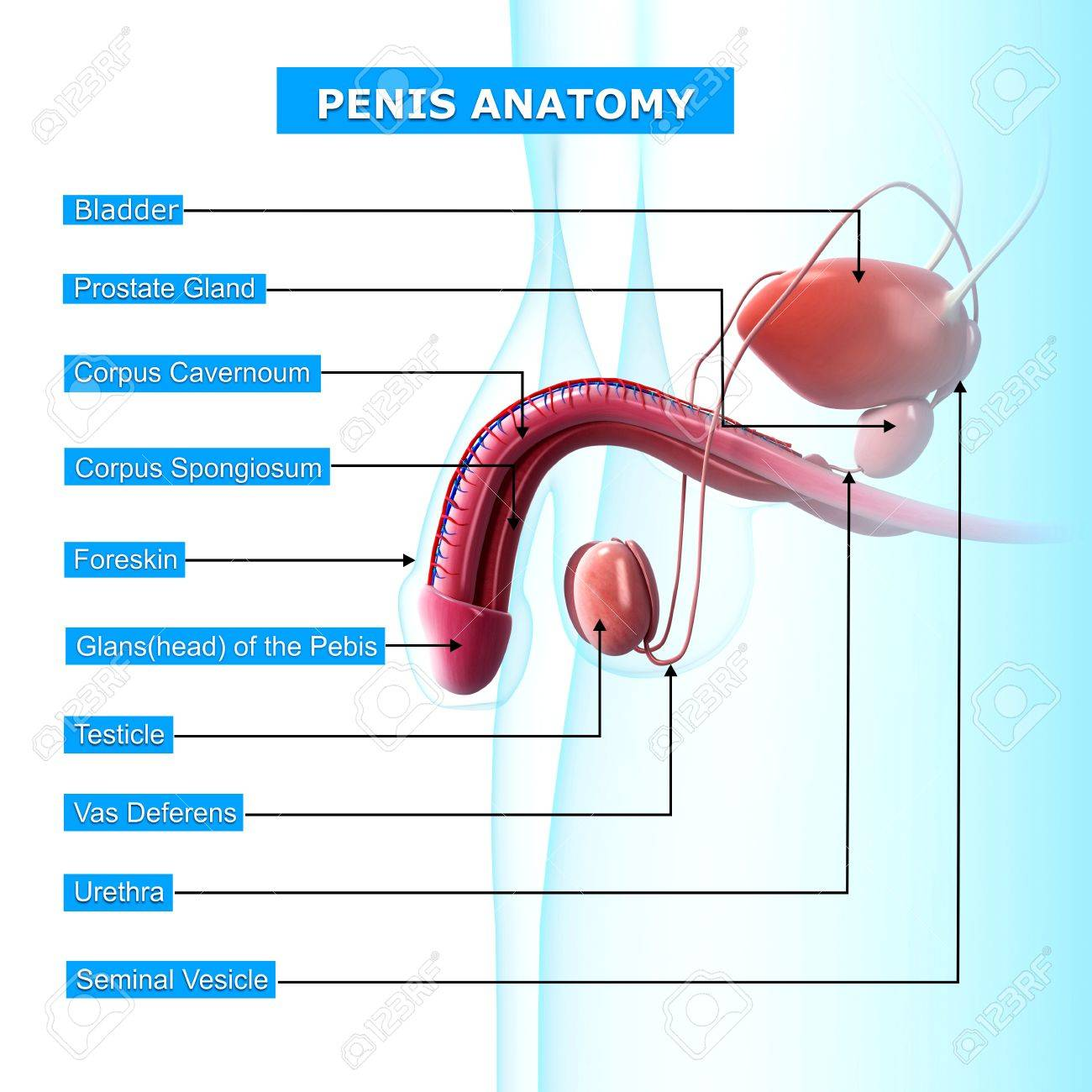 Male Reproductive System With Names Stock Photo, Picture And Royalty ...