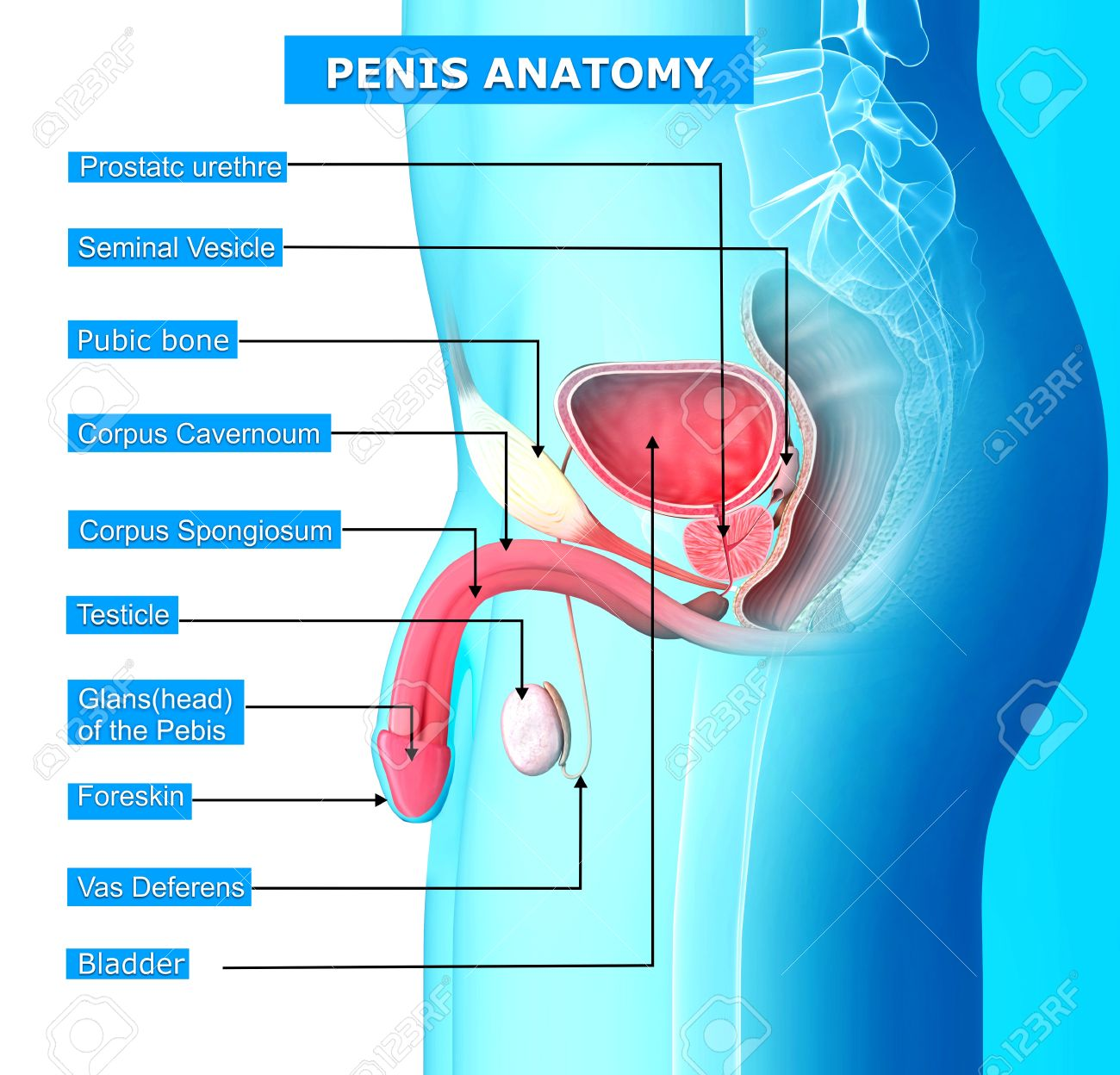 Anatomy Of Reproductive System Of Male With Names Stock Photo