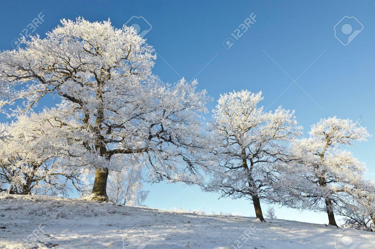Oak trees on the hill in snowy landscape Stock Photo - 11830773