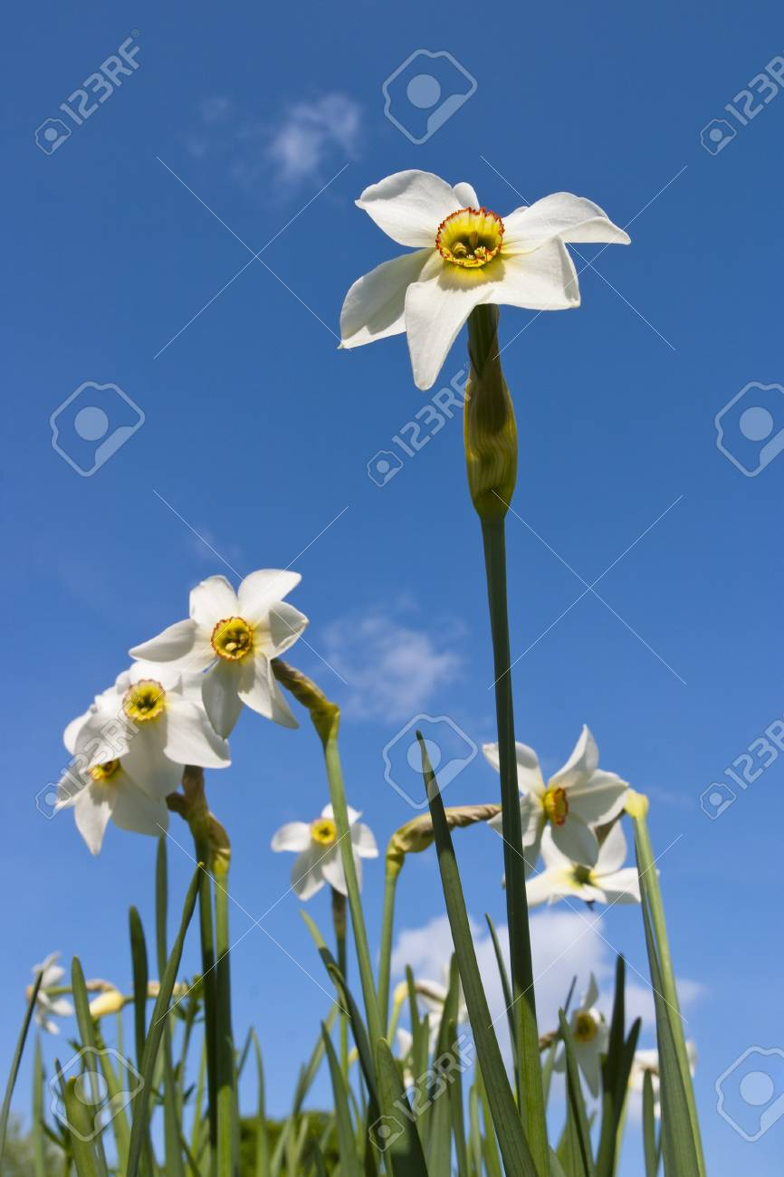 Daffodils blooms in the meadow Stock Photo - 13277597