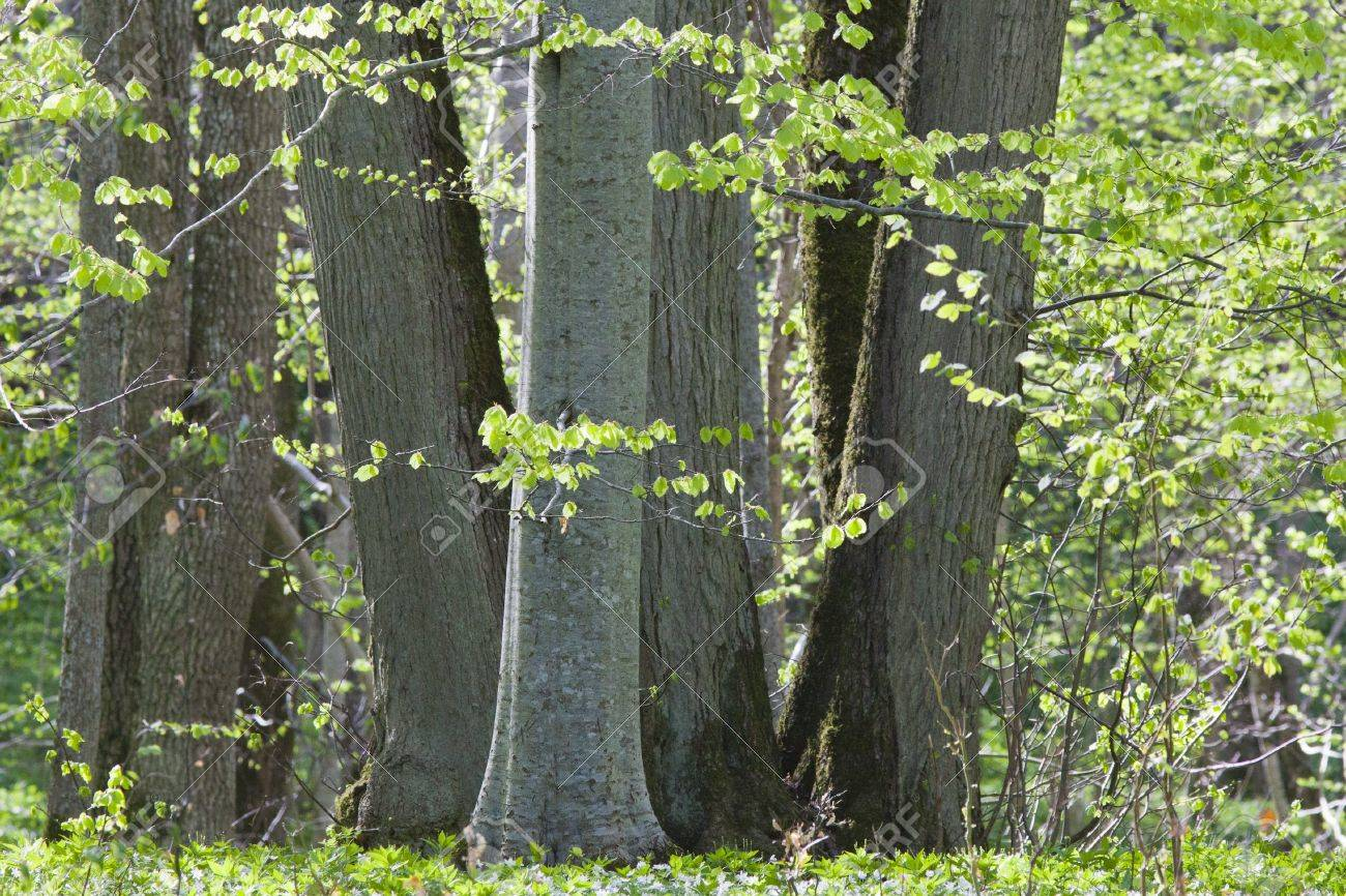 Beech tree forest in spring Stock Photo - 13507391