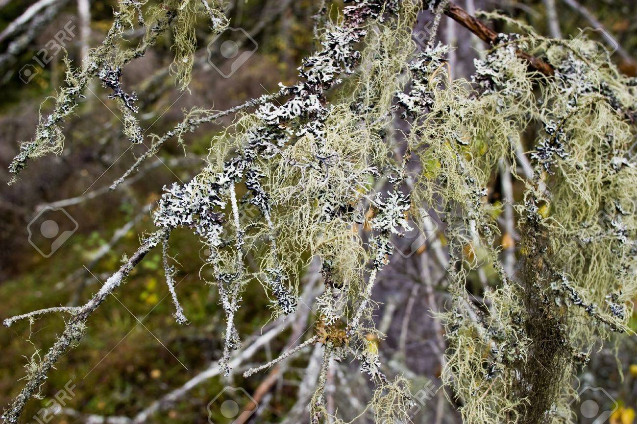 Old spruce branch covered with lichens Stock Photo - 13983893