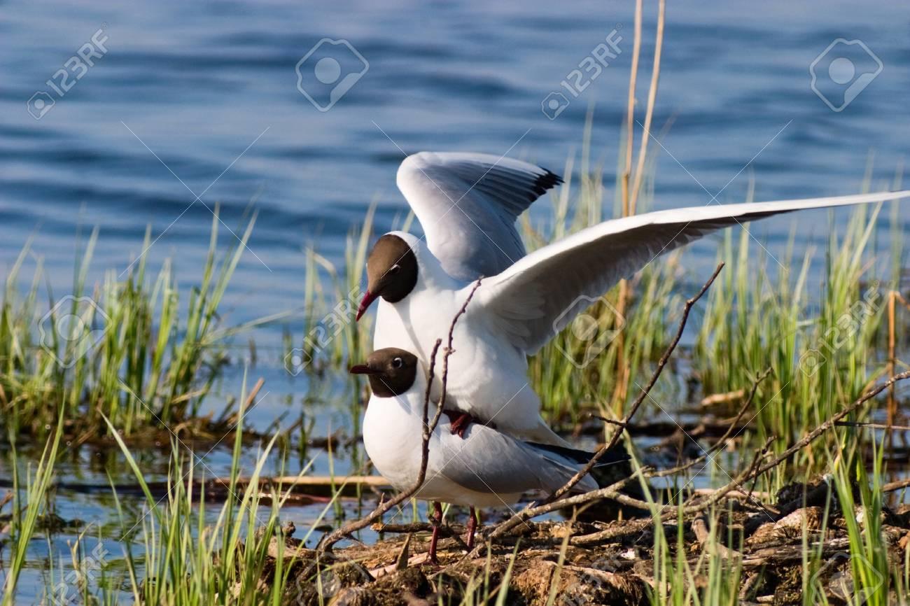 Black headed gull mating Stock Photo - 17332521