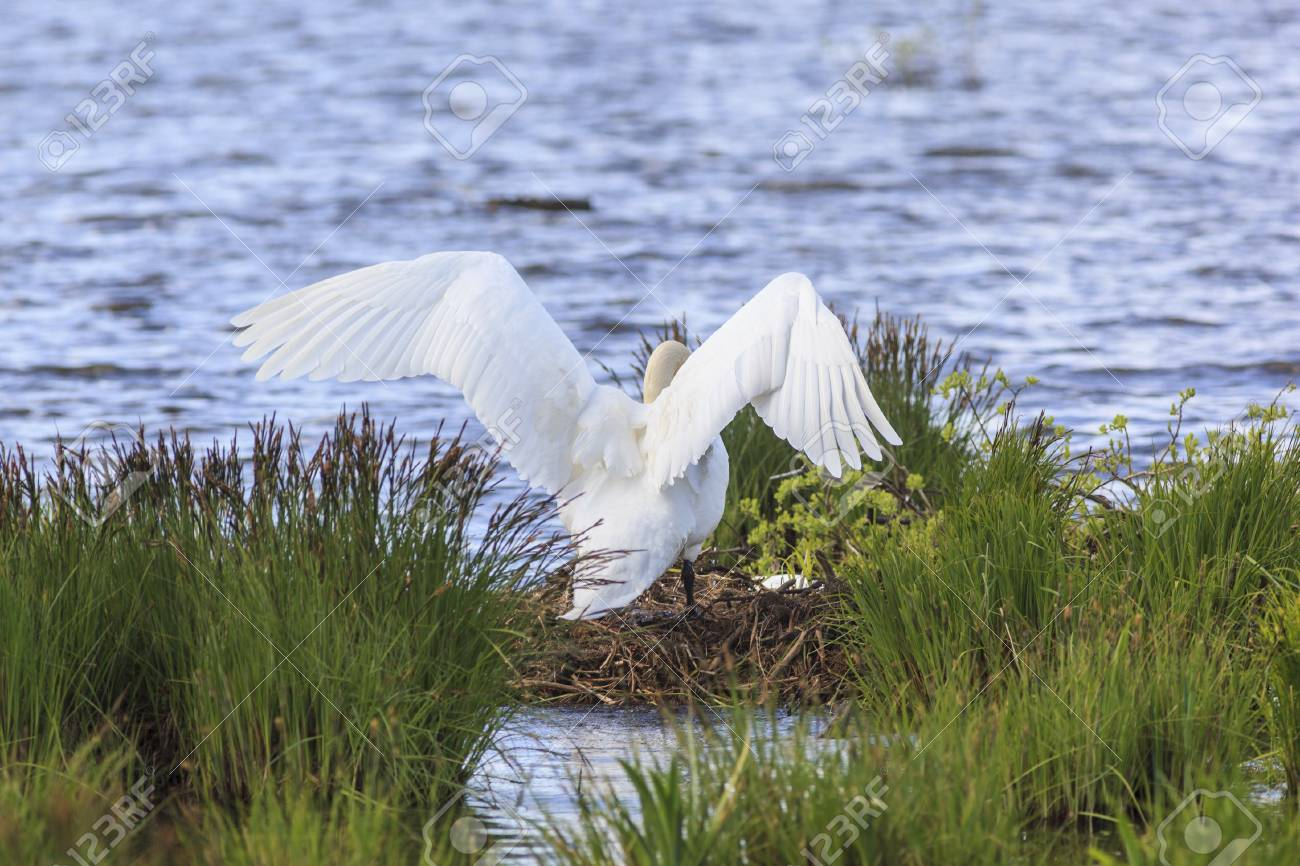 Mute Swan nests in the lake Stock Photo - 18048745