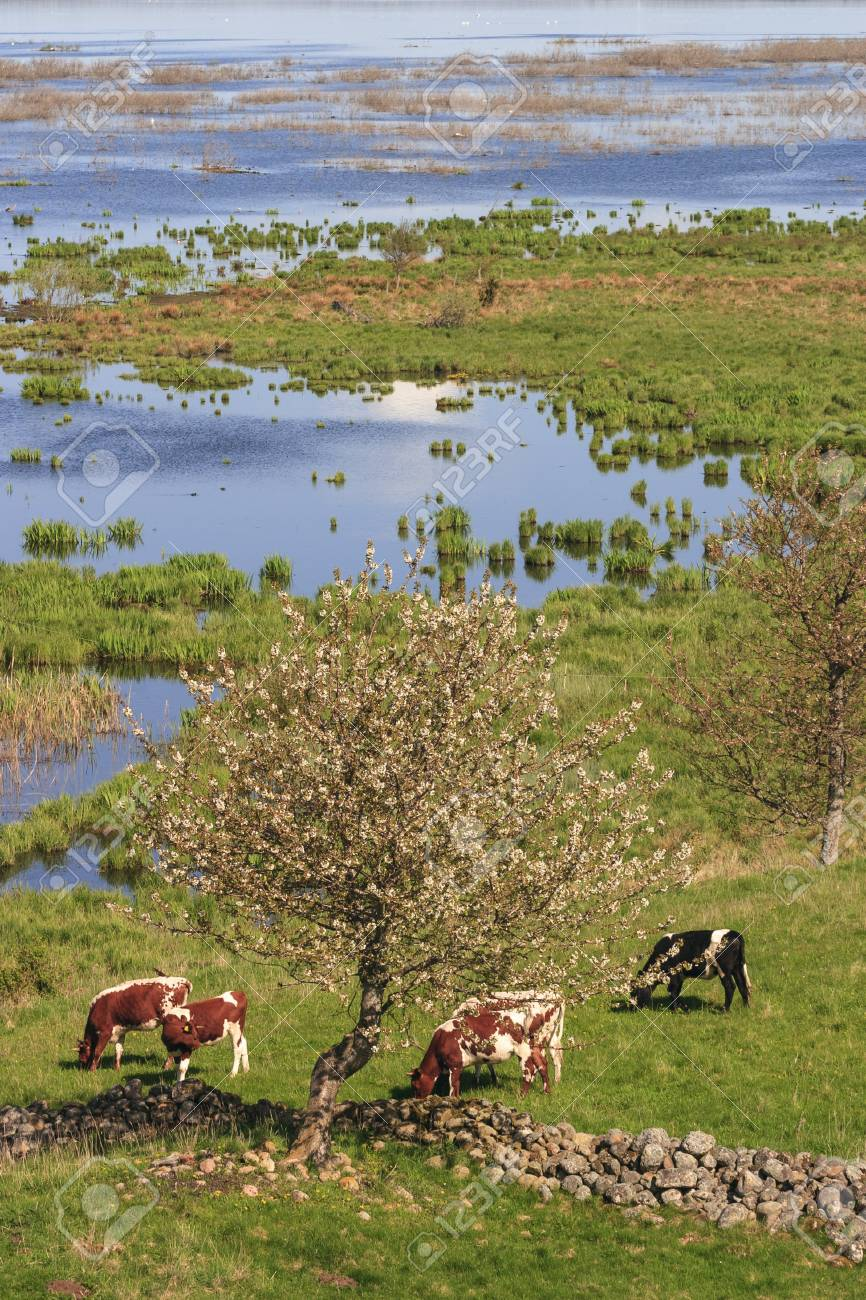 26800269-cow-grazing-in-the-meadow-by-the-lake.jpg