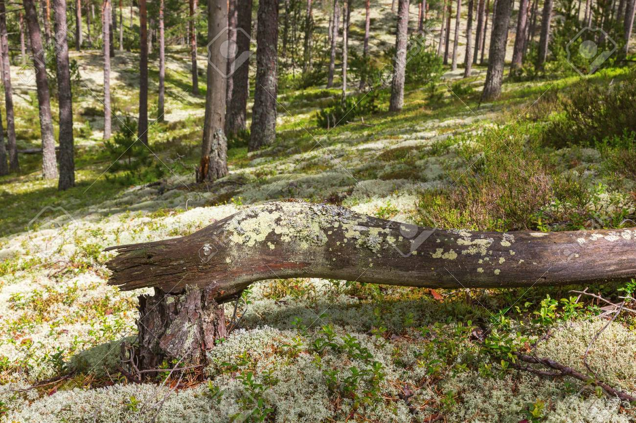 Trees that have fallen in the pine tree forest - 41619664