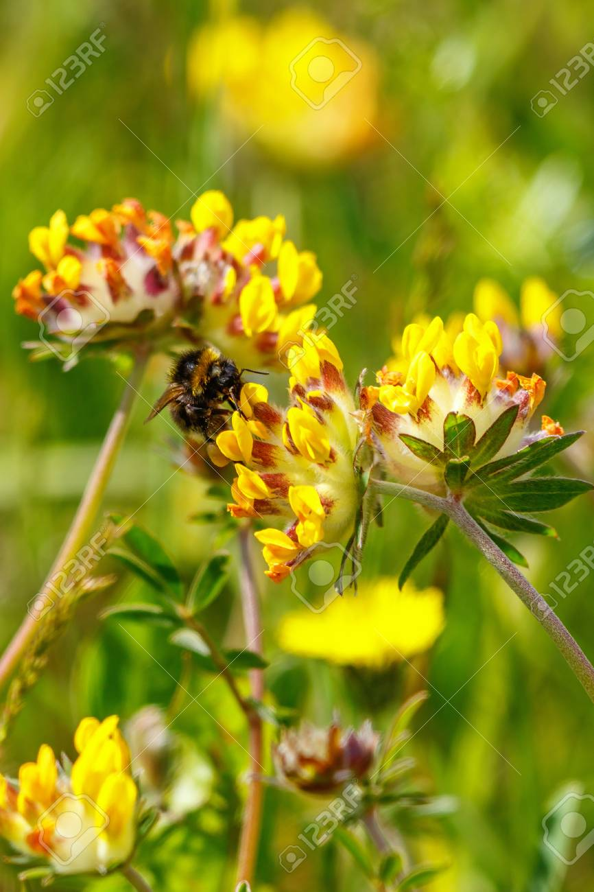 Bumblebee sucking nectar on a kidney vetch flower stock photo bumblebee sucking nectar on a kidney vetch flower stock photo 81279750 mightylinksfo