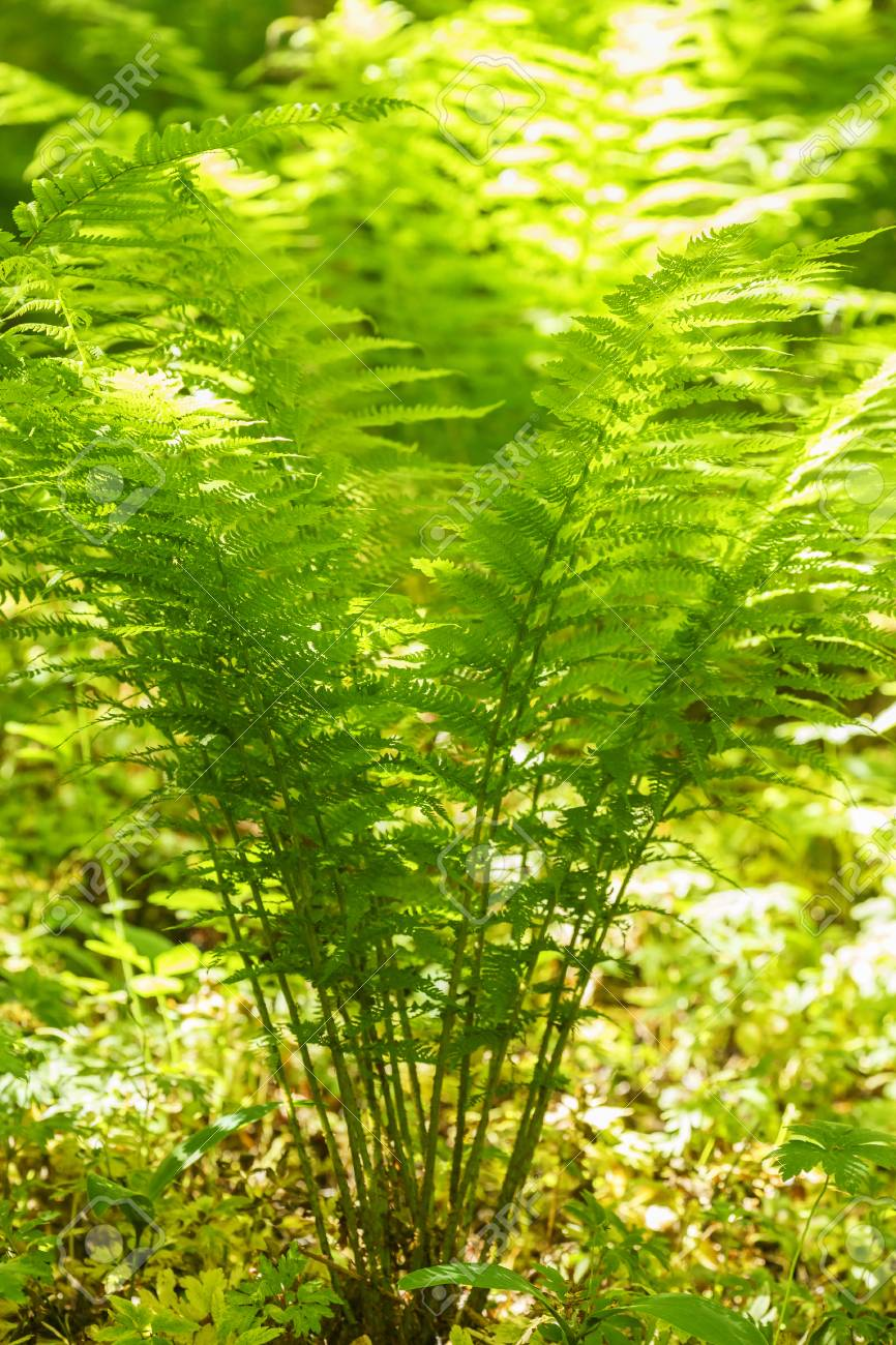 Ferns Plants With Sunlight In The Forest Stock Photo Picture And