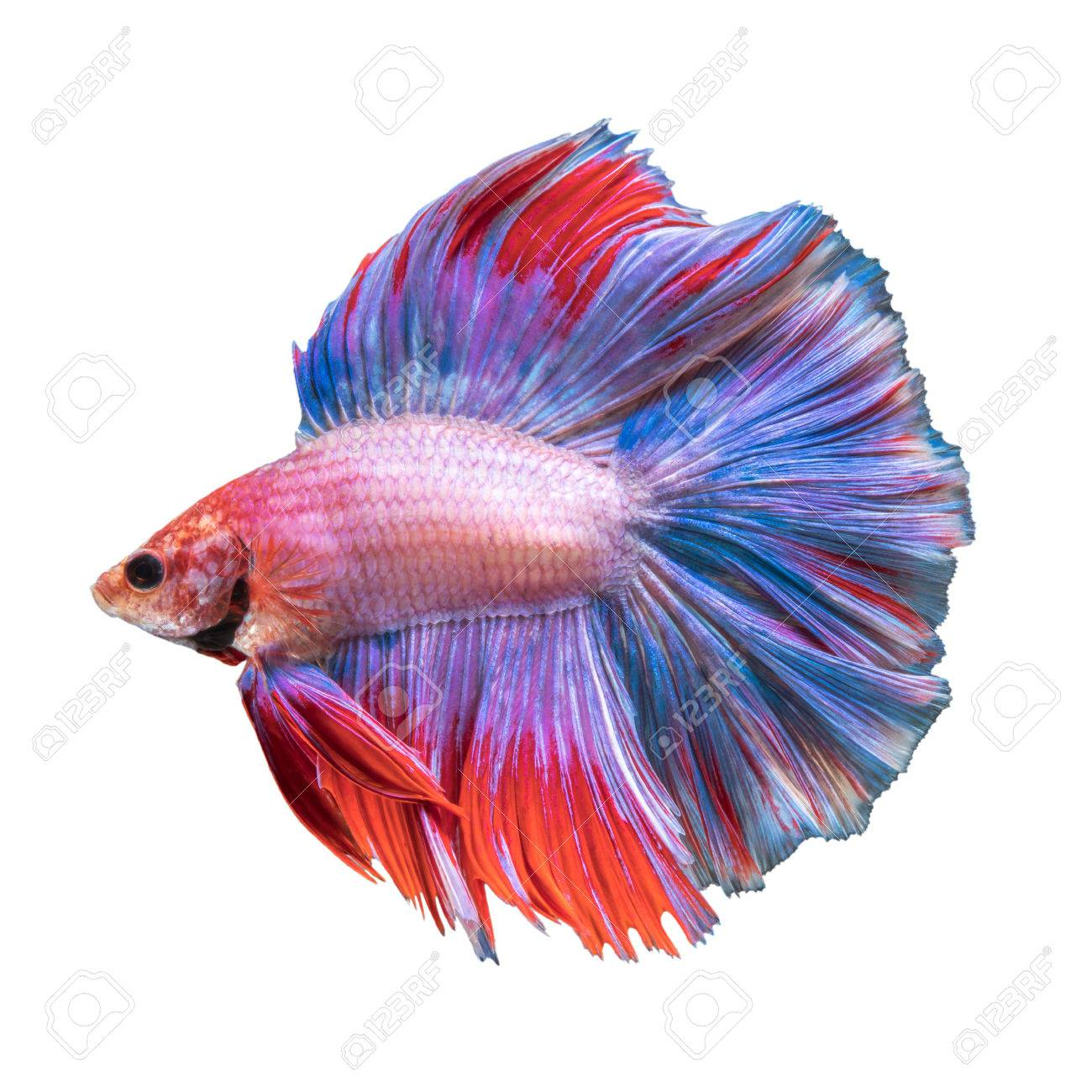 Double Tail Betta Fish Siamese Fighting Fish On White Background Stock Photo Picture And Royalty Free Image Image 59638818