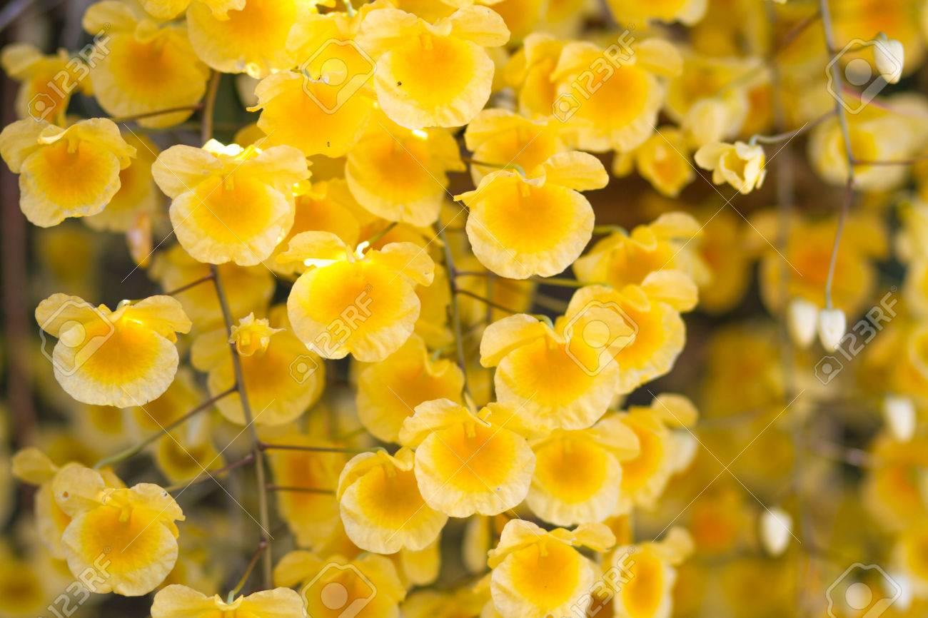 Foto de archivo , ? flor de las orquídeas amarillas ?