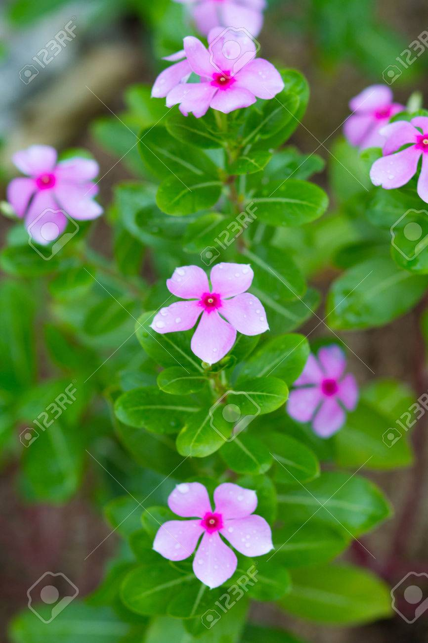 Beautiful Pink Vinca Flowers Stock Photo Picture And Royalty Free