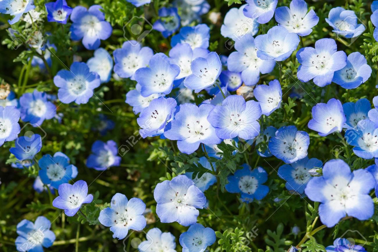 Field Of Nemophila, Or Baby Blue Eyes Nemophila Menziesii ...
